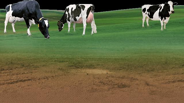 Sumul Cow